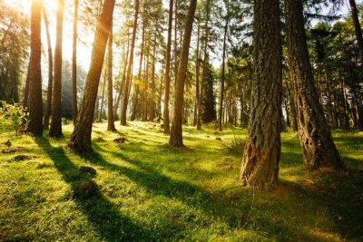 Plakat Magiczne lasy w porannym słońcu. Las bajki na wiosnę.