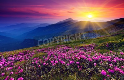 Plakat Magiczne różowe kwiaty rododendronów na letnie góry