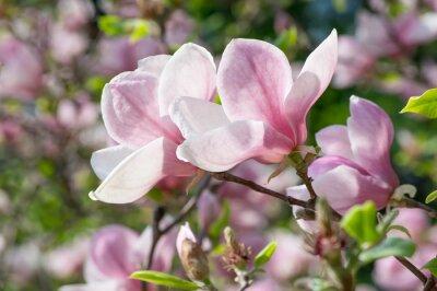 Plakat Magnolia kwiaty