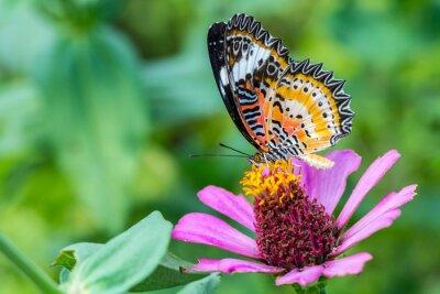 Plakat makro motyl na cynia kwiat (Leopard Lacewing)