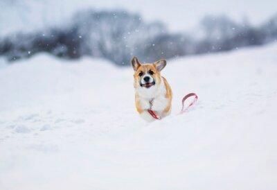 mały czerwony szczeniak Corgi fun biegnie na białym polu zimą we wsi podczas opadów śniegu na czerwonej smyczy
