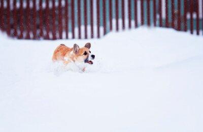 mały czerwony szczeniak spacery w głębokich białych zaspach zimą w wiosce zabawy biegania i łapania płatków śniegu