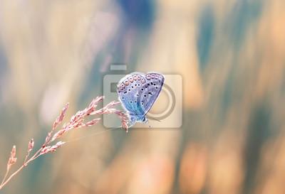 Plakat mały niebieski motyl siedzi na źdźbło trawy na nasłonecznione łąki