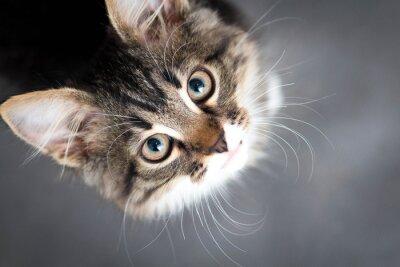 Plakat mały puszysty kotek na szarym tle