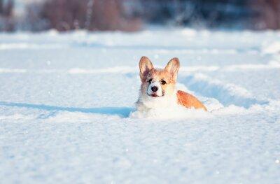 mały rudowłosy szczeniak corgi bawi się na białym śniegu, rozmazując nos i twarz w winter park