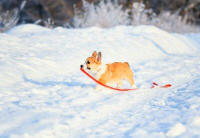 Mały rudowłosy szczeniak psa corgi chodzi w głębokie białe zaspy zimą w parku w słoneczny dzień, trzymając smycz w zębach