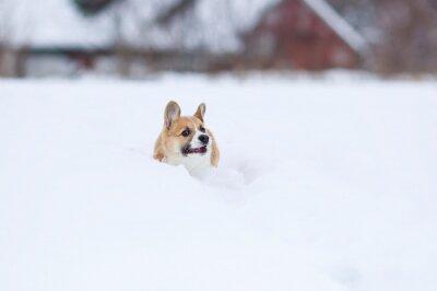 Mały śmieszny rudowłosy szczeniak corgi biegnie w głębokich białych zaspach zimą we wsi