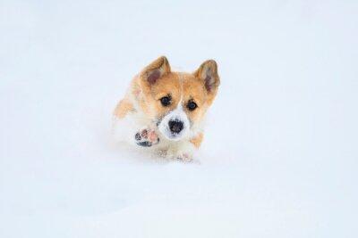 mały zabawny czerwony szczeniak corgi biegnie w głębokich białych zaspach zimą w wiosce, wyrzucając nogi