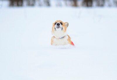 mały zabawny czerwony szczeniak corgi biegnie w głębokich białych zaspach zimą we wsi