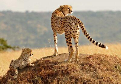 Masai Mara Gepardy