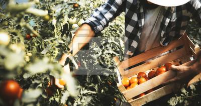 Plakat Męski rolnik podnosi świeżych pomidory od jego cieplarnianego ogródu