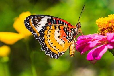 Plakat Mężczyzna Leopard lacewing motyl
