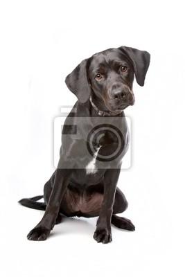 ac1b224d Plakat pies rasy mieszanej (shih tzu, pekińczyk) samodzielnie na ...