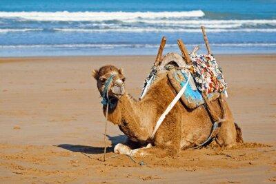 Plakat Młoda dromader w siodle leżącego na piasku, Maroko