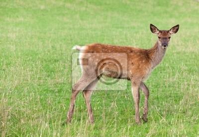 Plakat młode jelenie na zielonej trawie