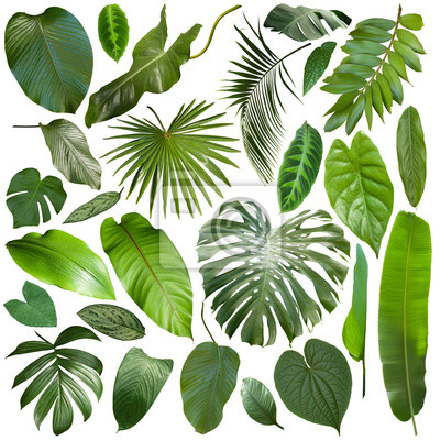 Plakat More beautiful exotic tropical leaves, isolated leaf background