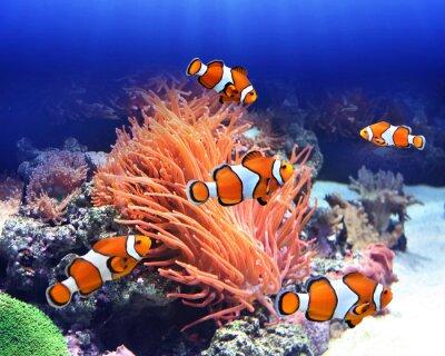 Plakat Morski anemon i ryb clown