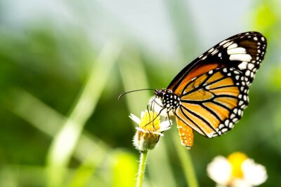 Plakat motyl na kwiat