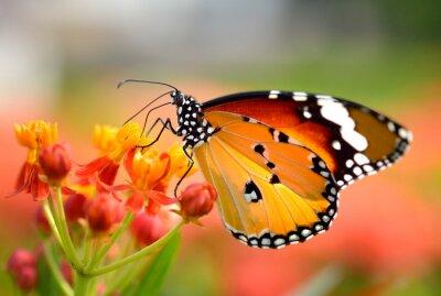Plakat Motyl na pomarańczowy kwiat w ogrodzie