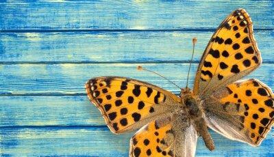 Plakat Motyl, Owad, Skrzydło.