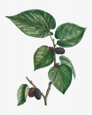 Plakat Mulberries on a branch