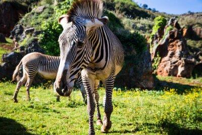Plakat Na Grevy s zebra (Equus grevyi), czasami znany jako imperia
