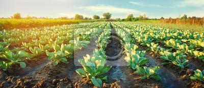 Plakat na polu rosną plantacje kapusty. rzędy warzyw. rolnictwo, rolnictwo. Krajobraz z gruntami rolnymi. uprawy. selektywna ostrość