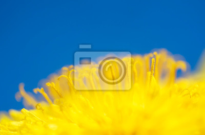 Plakat natural background with a bright yellow semicircle sunny flower dandelion closeup honey-covered pollen blossomed on a spring sunny day against the blue sky