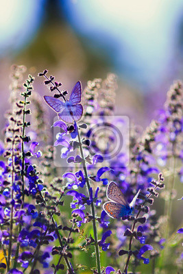 Plakat natural background with two small bright blue butterfly Blues sitting on purple flowers in summer Sunny day on a rural meadow