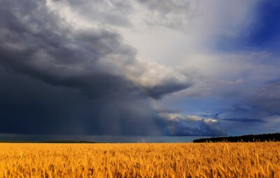 Plakat natural beautiful landscape with field of Golden ripe wheat ears on blue background a stormy sky with clouds and a bright rainbow