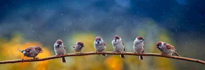 Plakat natural panoramic photo with little funny birds and Chicks sitting on a branch in summer garden in the rain