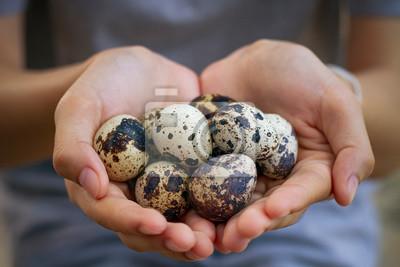 Plakat Natural quail eggs in asian woman hands., , Selective focus.