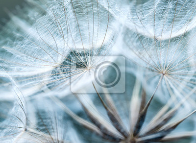 Plakat naturalne tło puszyste nasiona kwiat mniszka lekarskiego w delikatnym niebie niebieskie kolory