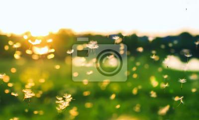 Plakat naturalne tło z wielu małe białe światło i przewiewne nasiona mniszka lekarskiego latające i gwałtownie nad latem o zachodzie słońca