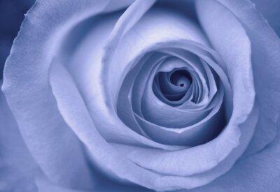 Plakat niebieska róża