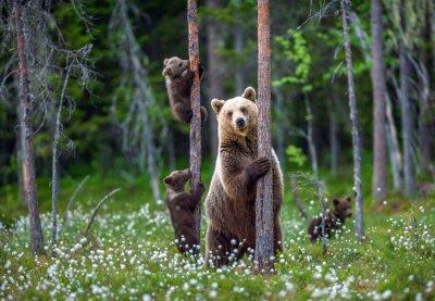 Plakat Niedźwiedź i młode. Niedźwiadki młode wspinają się na drzewo. Naturalne środowisko. W letnim lesie. Nazwa naukowa: Ursus arctos.