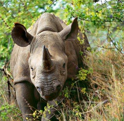 Plakat nosorożec