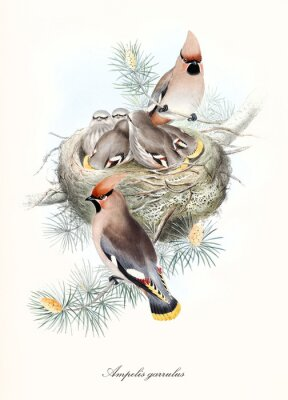 Plakat numerous bird family in the nest with parents watching all over off the branch. Old illustration of Bohemian Waxwing (Bombycilla garrulus). By John Gould publ. In London 1862 - 1873