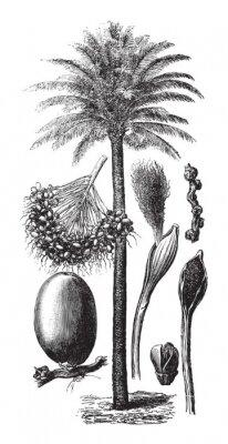 Plakat Oil palm (Elaeis guineensis) / vintage illustration from Brockhaus Konversations-Lexikon 1908