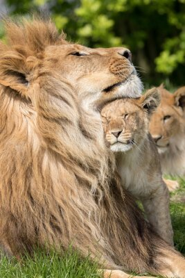 Plakat Ojciec i córka, Lew i lwica kuba razem