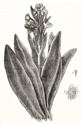Plakat Old botanical illustration of Espeletia, succulent plant, depicted with a elegant hatching on white background. Single isolated element by unidentified author publ. on Magasin Pittoresque Paris 1848