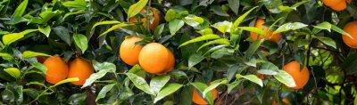 Plakat orange fruit on the trees