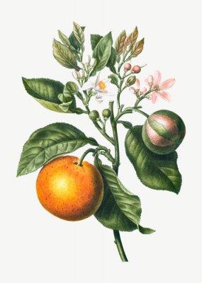 Plakat Orange tree branch