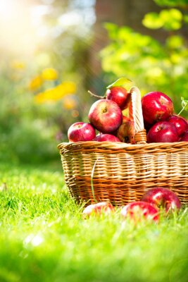 Plakat Organiczne Jabłka w koszyku. Orchard. Ogród