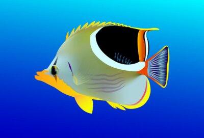 Plakat Osiodłać Butterflyfish, Chaetodon ephippium. Uepi, Wyspy Salomona. Salomon Morze, Ocean Spokojny