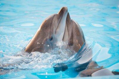 Plakat pair of dolphins dancing in water