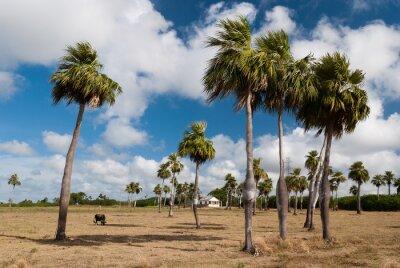 Plakat Palmiers endémiques de Cuba