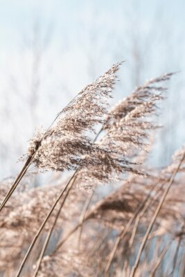 Plakat Pampas grass on the lake, reed layer, reed seeds. Golden reeds on the lake sway in the wind against the blue sky. Abstract natural background. Beautiful pattern with neutral colors. Selective focus