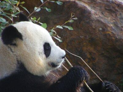 Plakat Panda géant de Chine