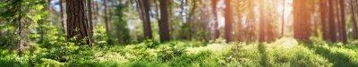 Plakat panorama lasu sosnowego i jodłowego na wiosnę. Ścieżka w parku